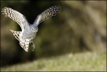 Yoshed - Le vol de l'épervier (avec Ownowl)