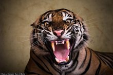W-Addict - Beauty And Cruelty Of Wild Life A Tiger's Majestic Destiny